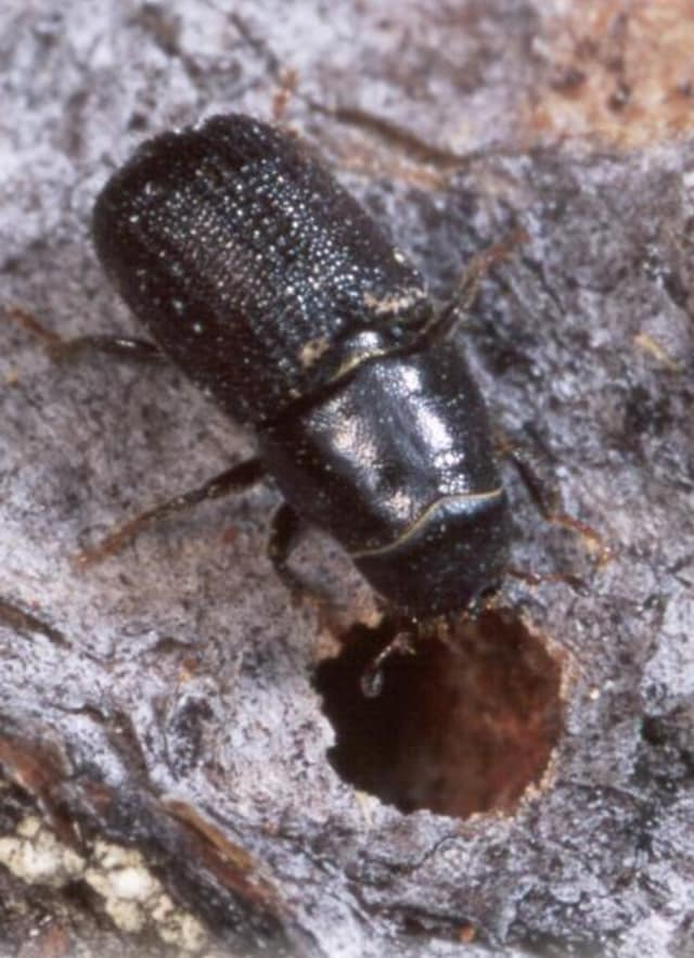 The Southern Pine Bark Beetle has been spotted in Westport.